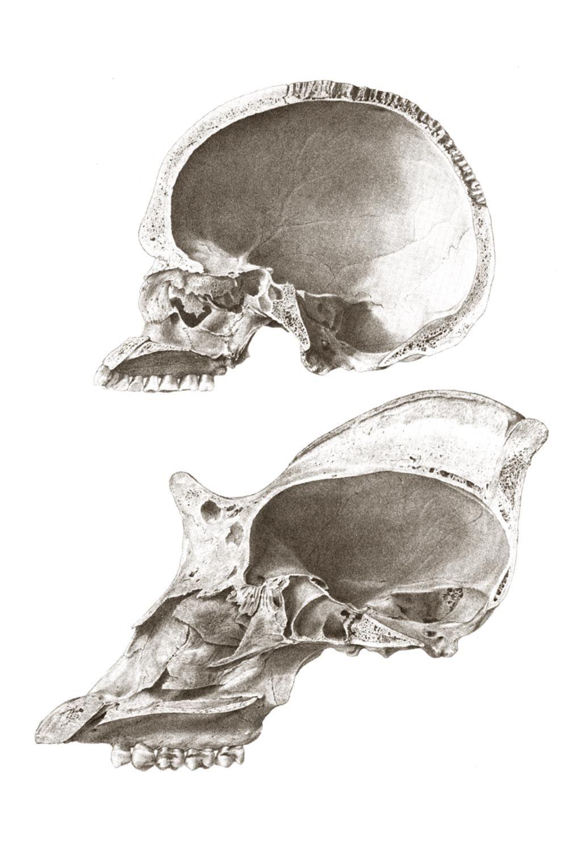 Gorilla and Human Skull | Monkey | Pinterest | Human skull, Anatomy ...