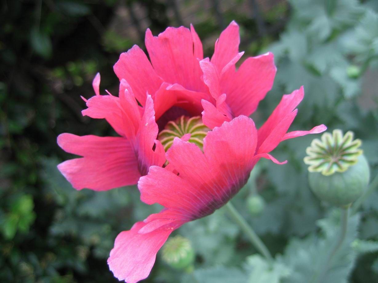 Orange Poppy Flower Pink Poppy Flower Yellow Poppy Flower Red