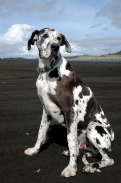 I Want To Have A Great Dane Some Day Great Dane Dogs Great Dane
