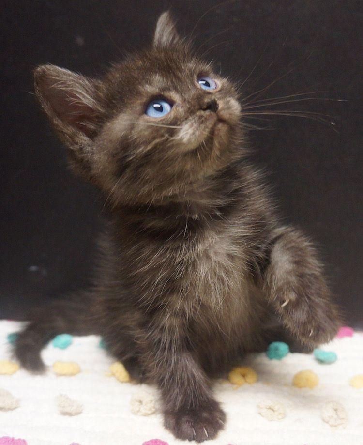Ojo Azule Brown Kitten Kittens Cat With Blue Eyes