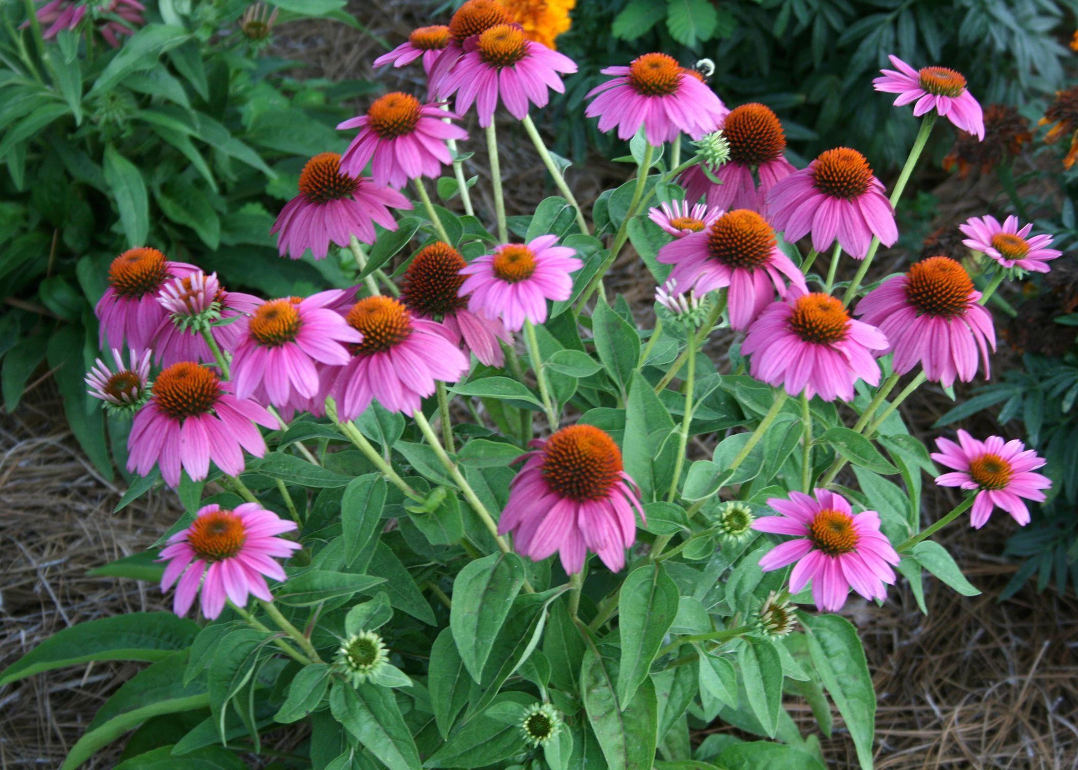 Pow Wow Wild Berry Coneflower Grows To About 20 Inches Tall And Produces Continuous Blooms Photo B Perennial Garden Backyard Garden Landscape Backyard Garden