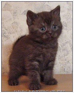 British Shorthair Cat Chocolate Smoke British Shorthair Cats And Kittens British Shorthair Cats