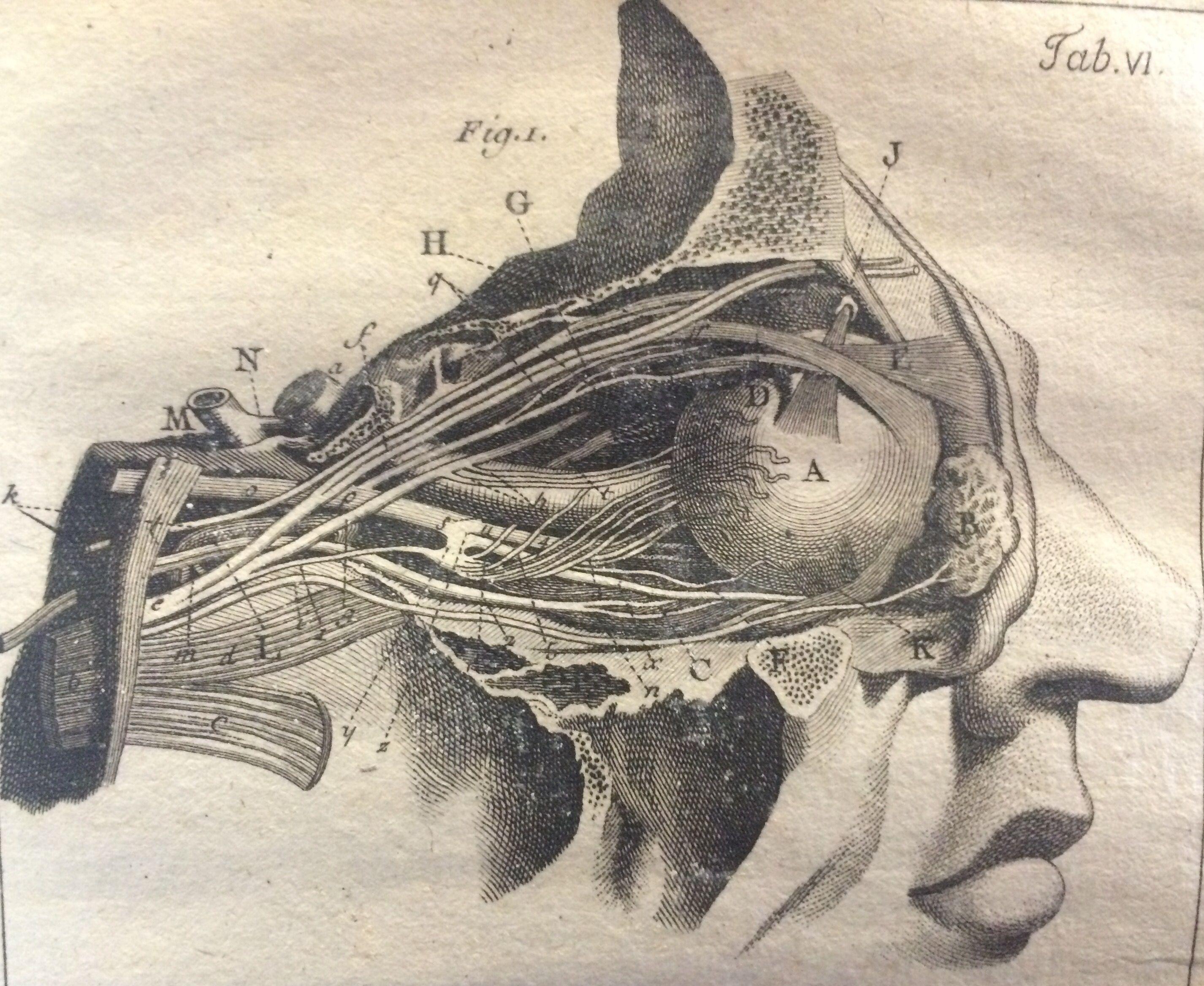 Image Result For Human Anatomy Eyes Size Anatomyhead Anatomy