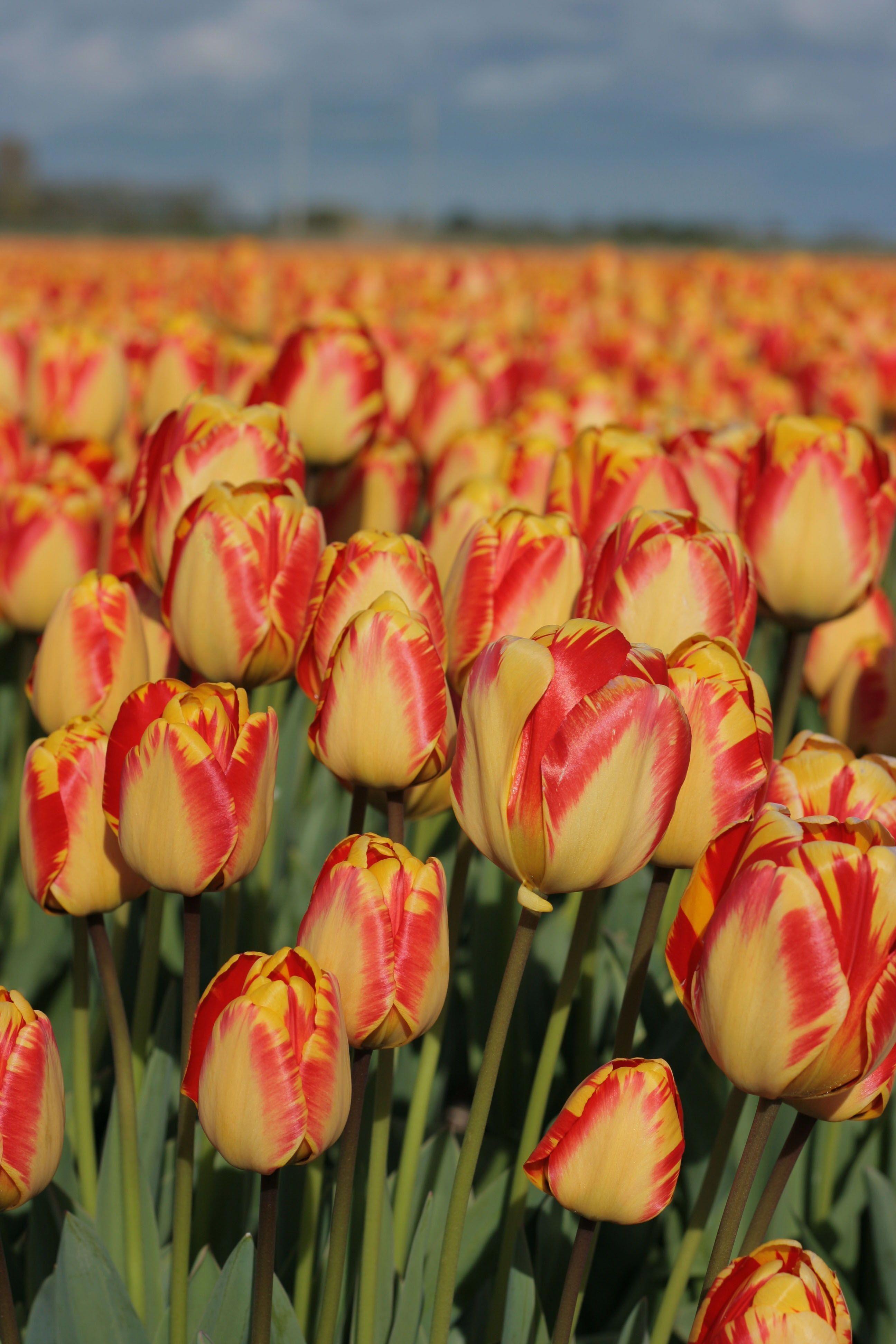 Organic Gardening Supplies Near Me Whyisorganicgardeningimportant Id 1984982011 Tulips Garden Flower Farm Tulips