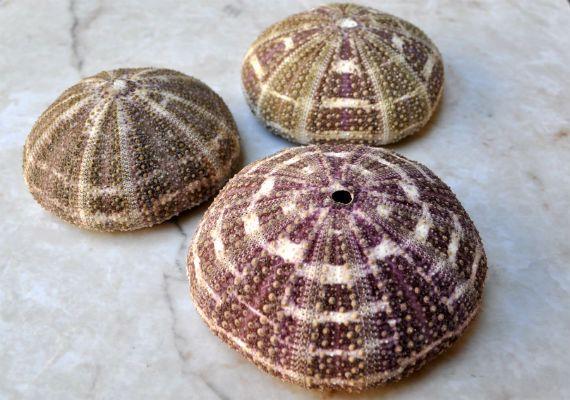 Alfonso Gator Sea Urchins 3 pcs.  34 by seashellmart on Etsy, $3.75