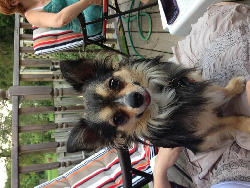 Back Home Dog Chihuahua Long Haired London On Canada N5z 2m1
