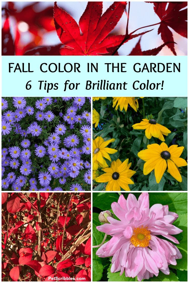 Get brilliant Fall color in your garden with these six tips! Use the existing garden color you already have, then add texture, color and even evergreens! Stunning examples included! #fallgarden #fallfoliage #gardentips #gardenideas #gardening #fallflowers #fallgardencolor