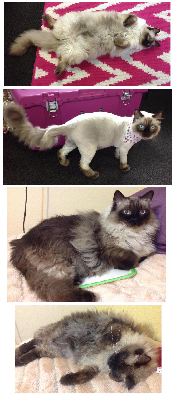 Ragdoll Cat Color Change After Shaving Fur Cats Ragdoll Cat