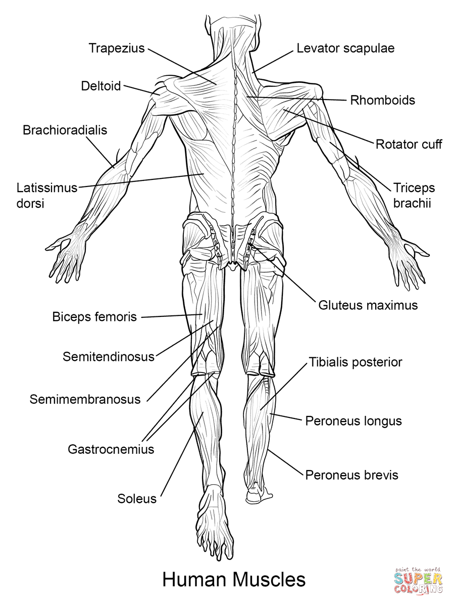 human muscles back view coloring page from anatomy
