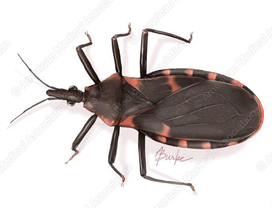 Triatomine Bug Kissing Bug And Chagas Disease Span Class