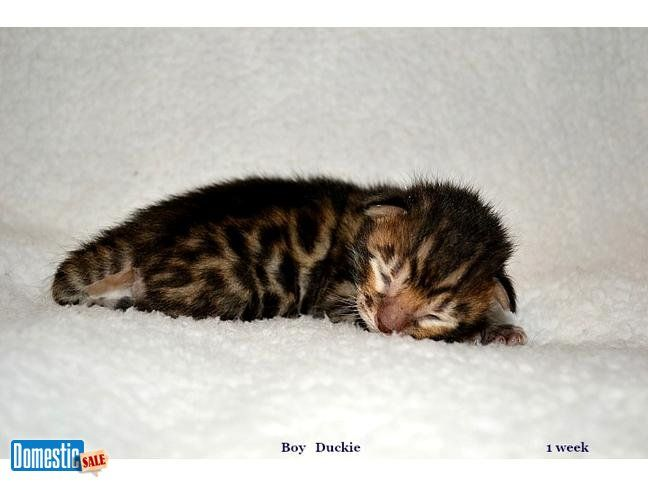 Easter Sunday Bengal Kittens For Sale 700 Lyle Minnesota Bengal Kittens For Sale Bengal Kitten Bengal Cat
