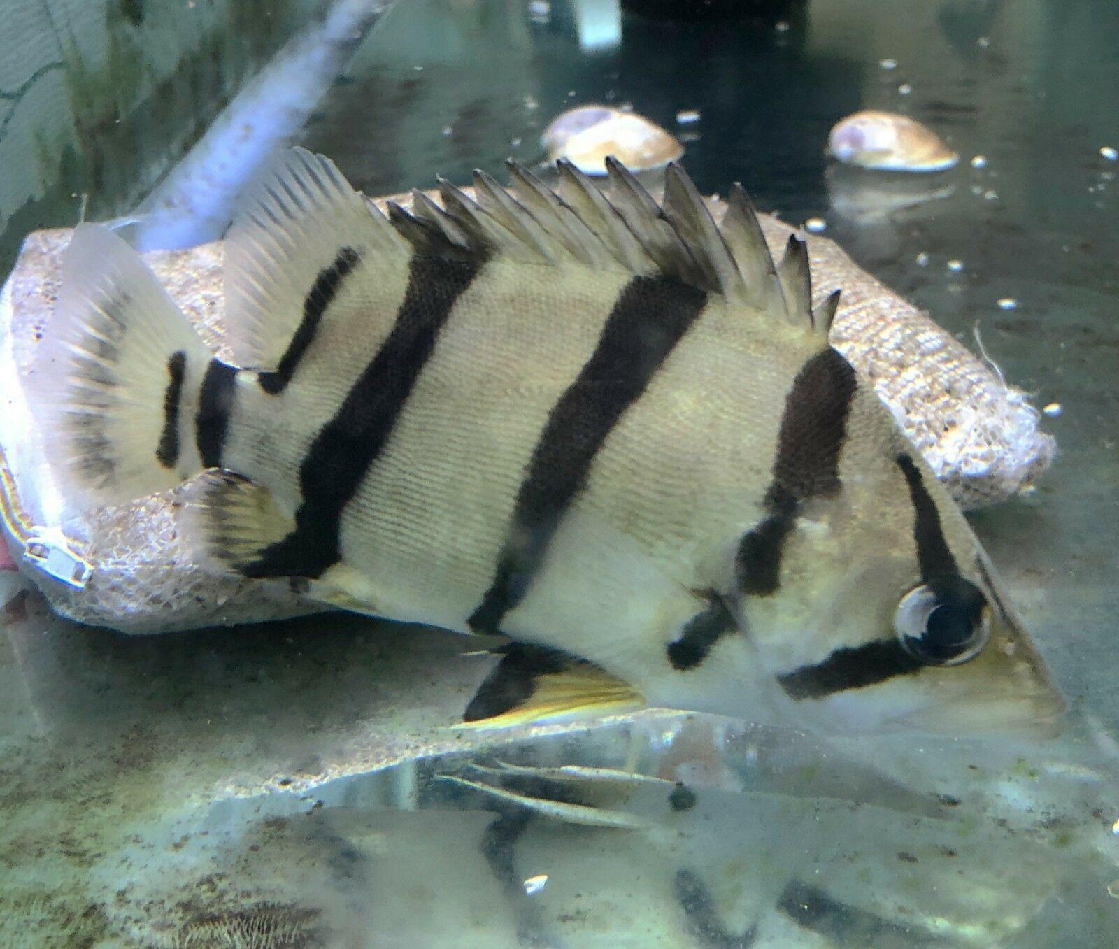 Ntt Datnoid 4 Bar Datnoid Tiger Fish Fish Pet Tropical Fish