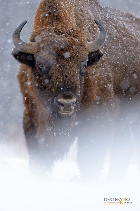 https://flic.kr/p/DyFmNt | Zubr | Bison bonasus, Bisonte europeo - Wisent, Europen Bison   Bialowieza NP, Poland