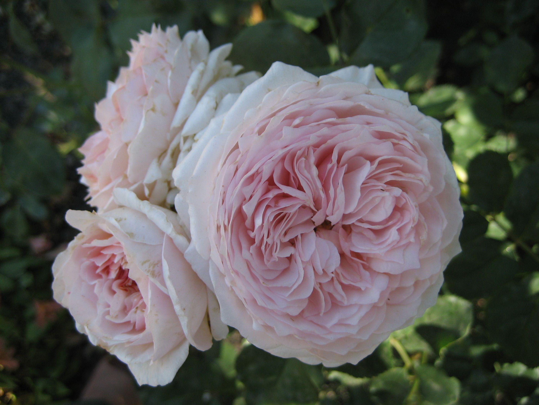 David Austin Rose David austin roses, June flower, Flowers