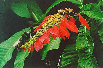 THE CHACONIA NATIONAL FLOWER OF TRINIDAD