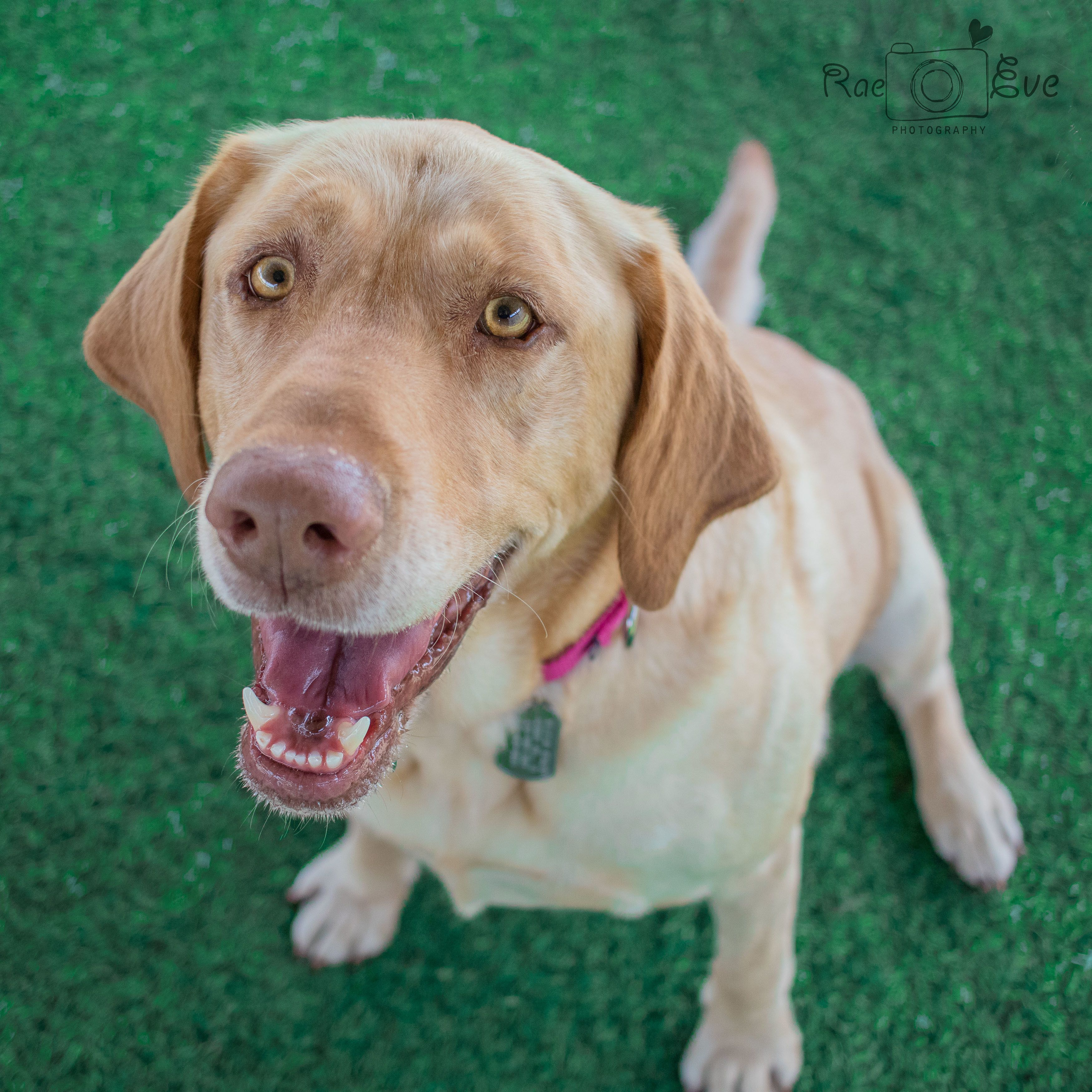 Adopt Aurora On With Images Dogs Dog Adoption Labrador Retriever Dog
