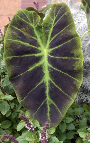 Elephant Ears (Colocasia, Alocasia, and Xanthosoma) – Master Gardener Program #elephantearsandtropicals