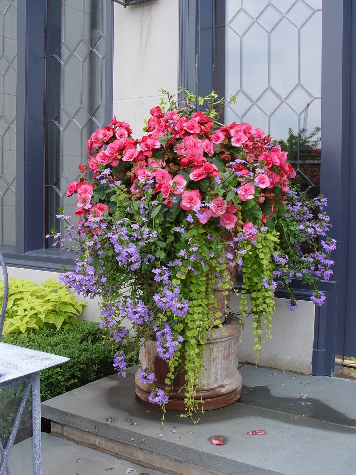 Container Garden With Begonias Scaveola And Creeping Jenny I Have Has This Mix In T Container Garden Design Container Gardening Flowers Container Flowers