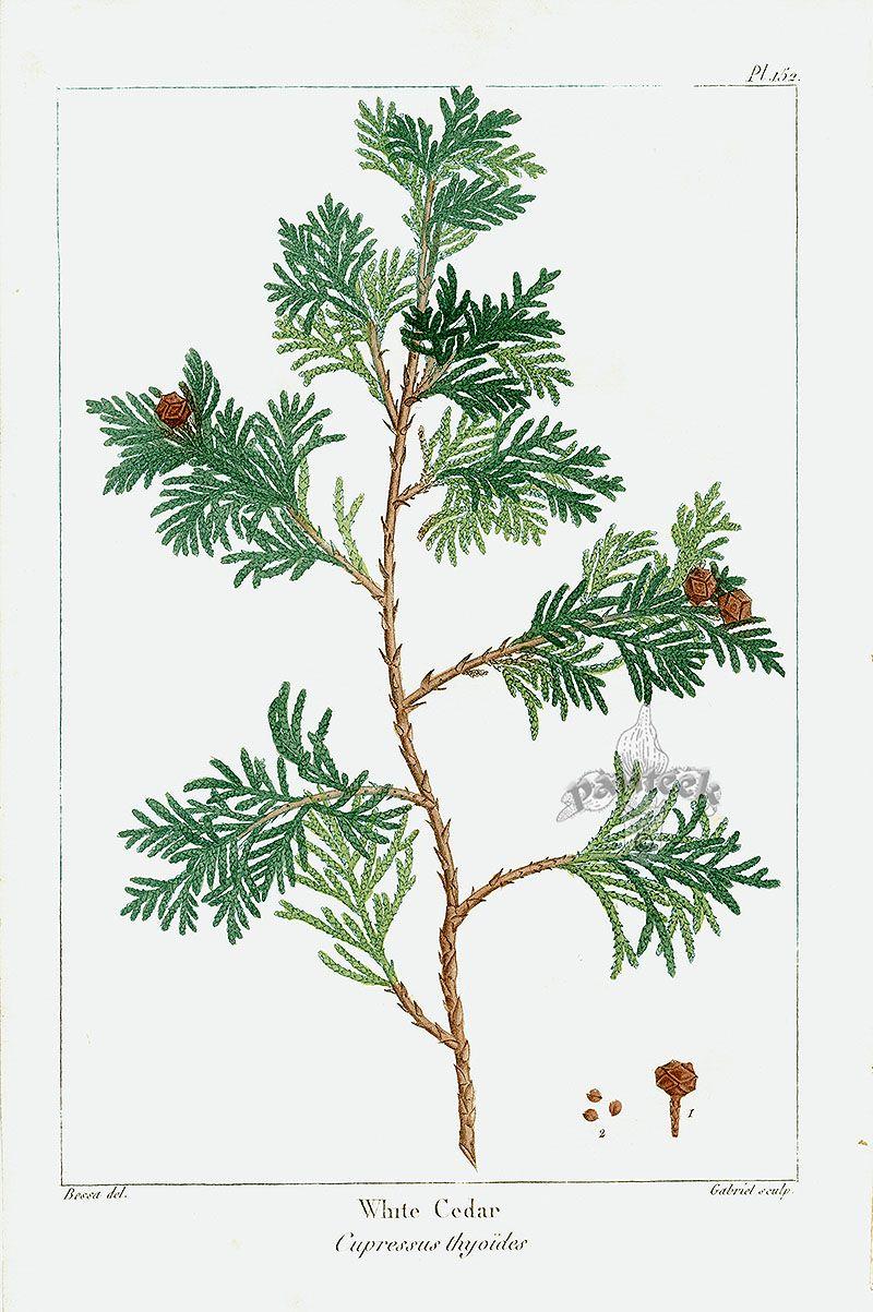 Michaux North American Sylva antique prints by Bessa, Redoute 1819: White Cedar