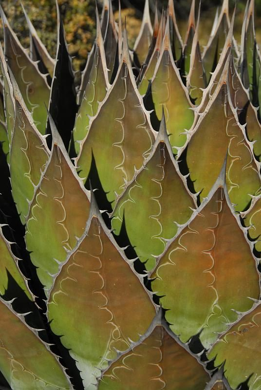 Agave Montana Patterns In Nature Agave Plant Plant Fungus