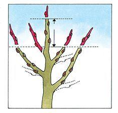 Einen Apfelbaum richtig schneiden #kräutergartendesign
