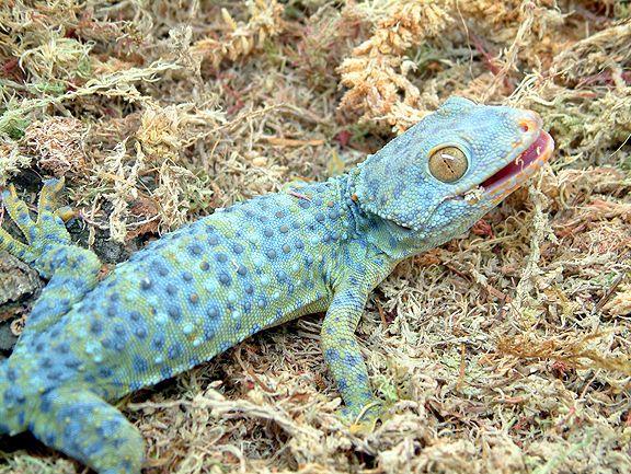 gekko gecko morph gecko geckos reptiles lizards reptilien pinterest reptilien. Black Bedroom Furniture Sets. Home Design Ideas
