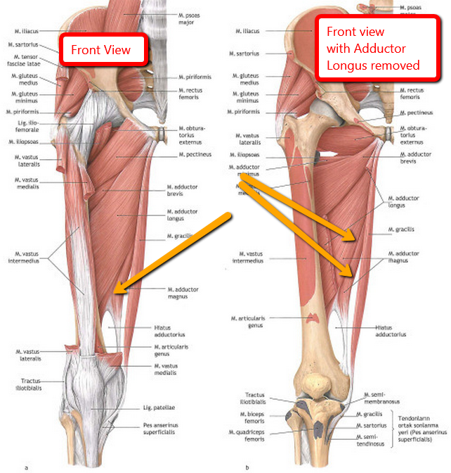Adductor Magnus Muscle Its Like A 4th Hamstring Click Image To Go