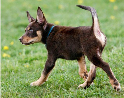 Kelpie Australian Sheep Dogs Dog Breeds Australian Kelpie