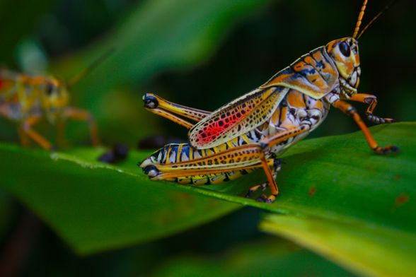 Adult Eastern lubber grasshoppers – Romalea microptera – can grow up to eight inches in length. And these colorful insects can hiss, secrete foam and even regurgitate a staining brown liquid to thwart predators.