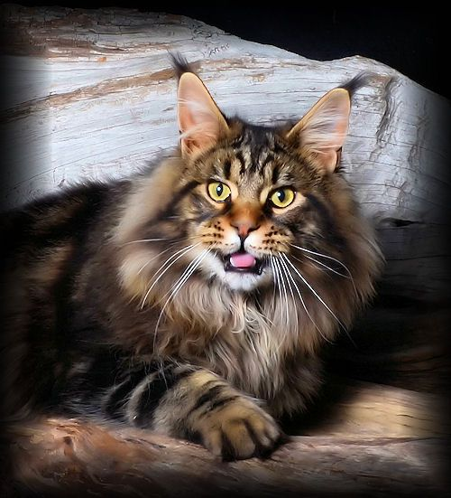 Maine Coon Cats Rescue Texas