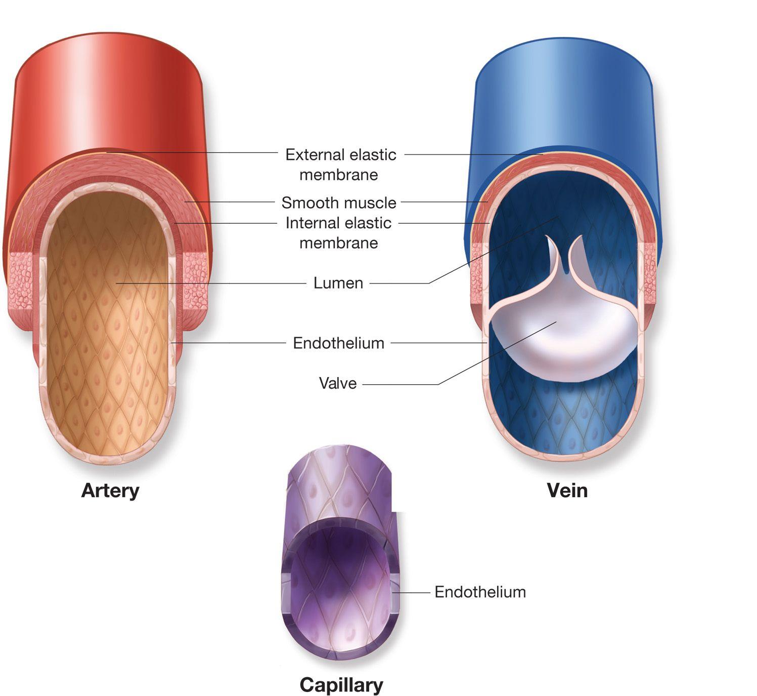 Image Result For Artery Vein Capillary