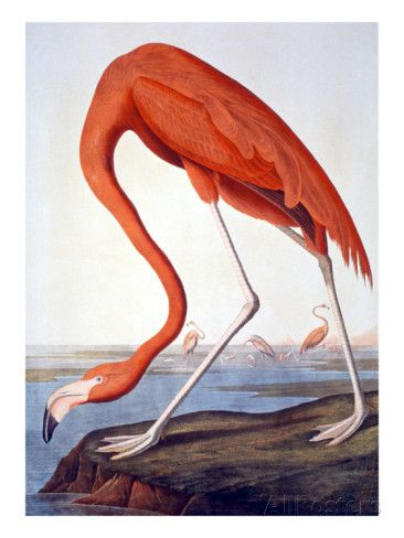 American Flamingo Prints By John James Audubon At Allposters