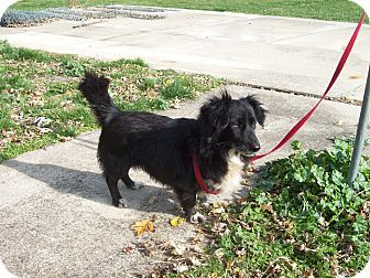 Dachshund Border Collie Mix Border Collie Dachshund Mix Dog For