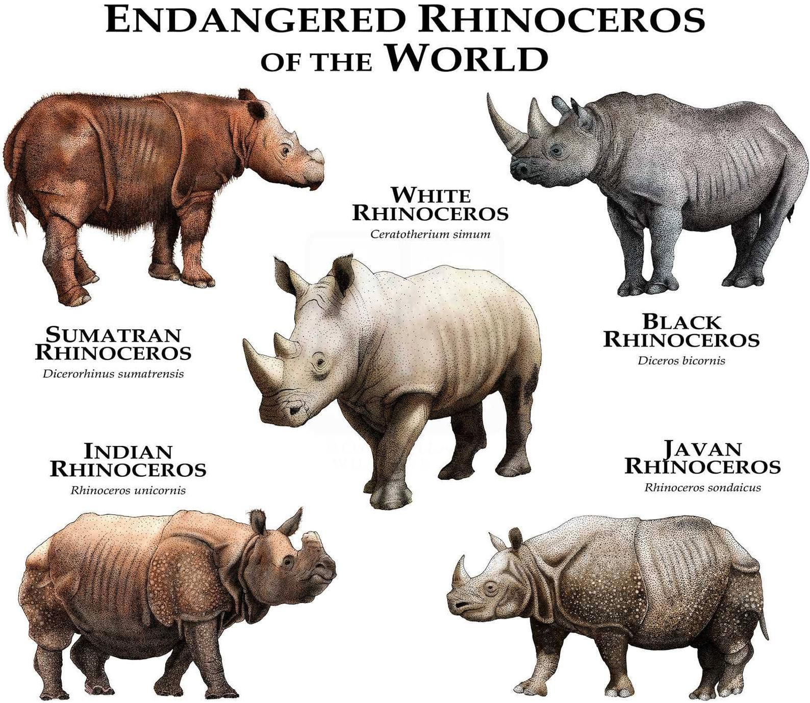 Rhinos of the World Poster Print (With images) Animals