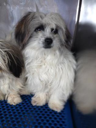 Animal Id T34527472 R Nspecies Tdog R Nbreed Tshih Tzu X2f Mix R Nage T R Ngender Tmale R Nsize Tsmall R Ncolor Tb Dog Life Hacks Dog Adoption Dog Life