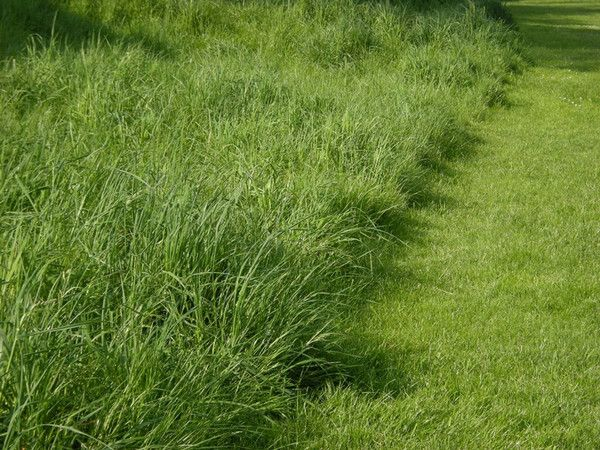 If you believe that cutting the grass as short as possible for Short landscape grasses