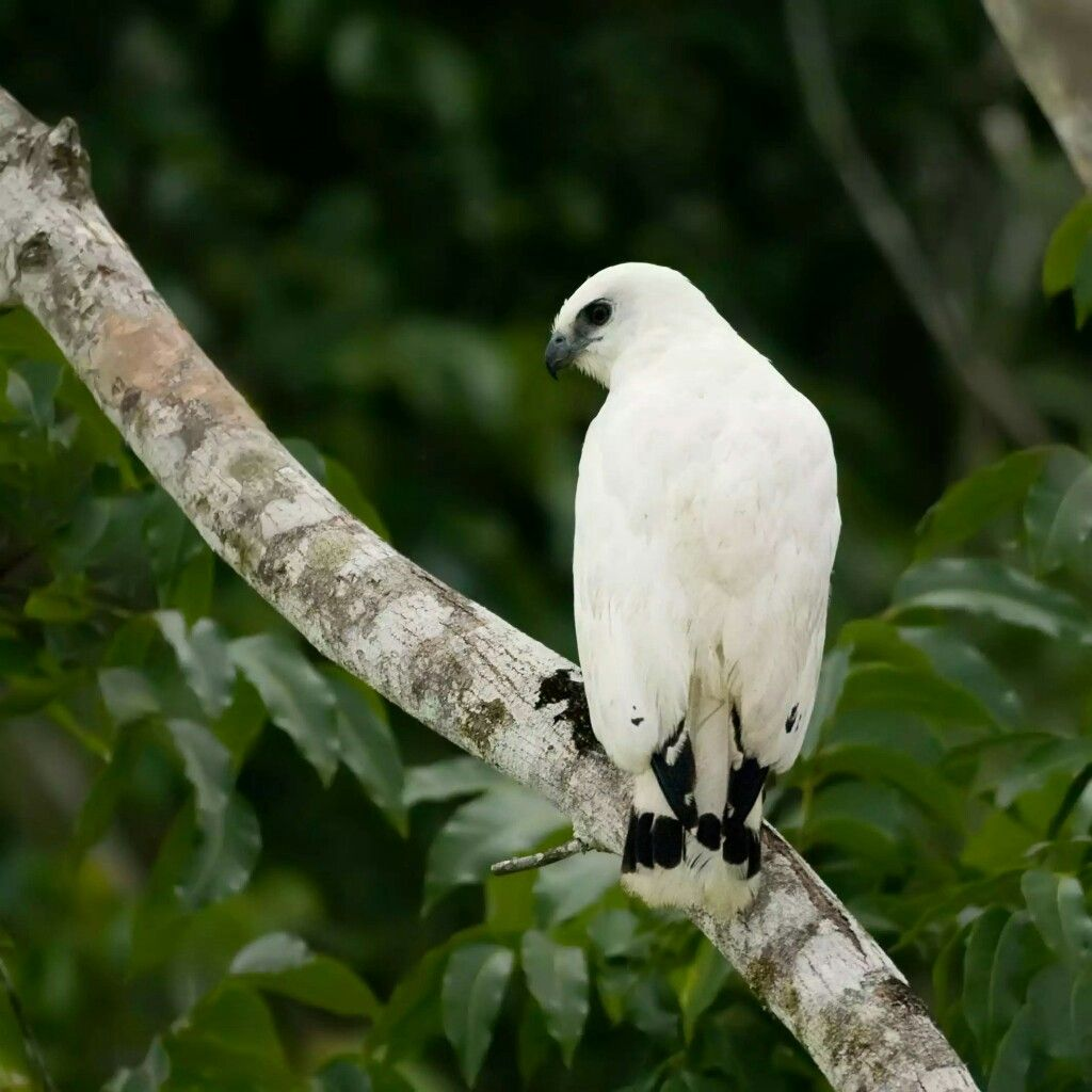 White hawk(Pseudastur albicollis