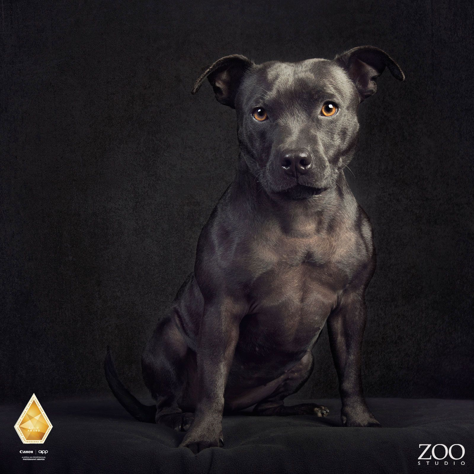 Rescue Staffy Wins Gold (With images) English