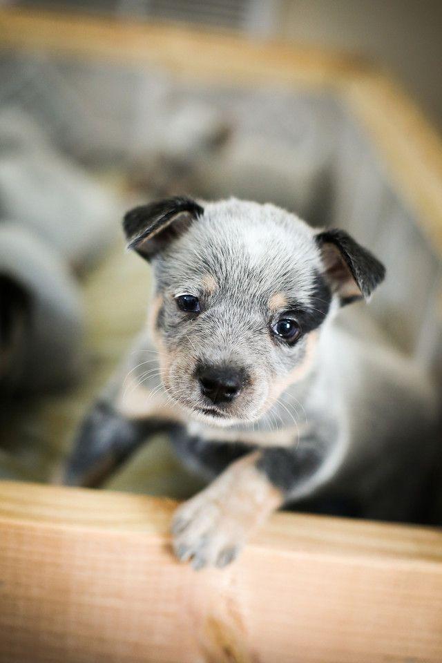 Kiah 6 Week Old Australian Cattle Dog Puppy R Gonzalez