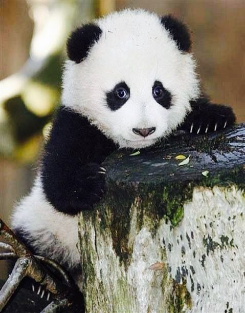 pingl par gwen nees sur panda pinterest. Black Bedroom Furniture Sets. Home Design Ideas