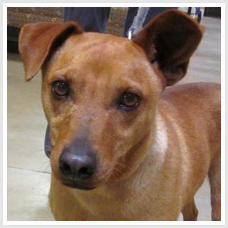 Red Gold Manchester Terrier Mix Terrier Mix Mini Pinscher Dog Search