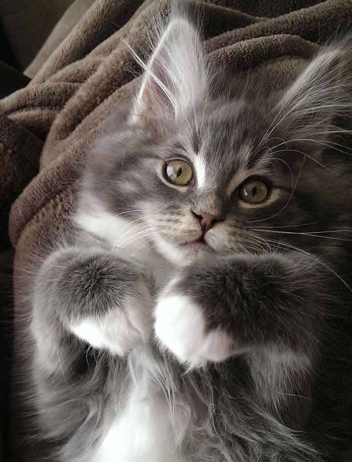 481 Best Kitten Pictures Images In 2020 Cats Kittens Beautiful