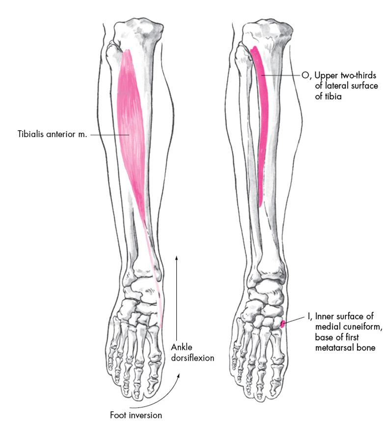 tibialis anterior - Google 검색