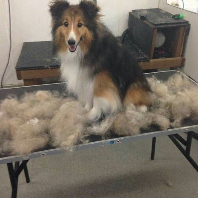 Nah Shelties Don T Shed Sheltie Dogs Shetland Sheepdog