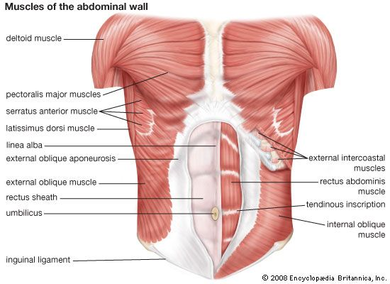 Diagram of abdominal muscles. | medicina | Pinterest | Abdomen ...