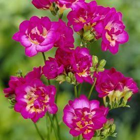 25 Count Freesias Purple Rain Bulbs 11246 Purple Rain Planting Bulbs Freesia