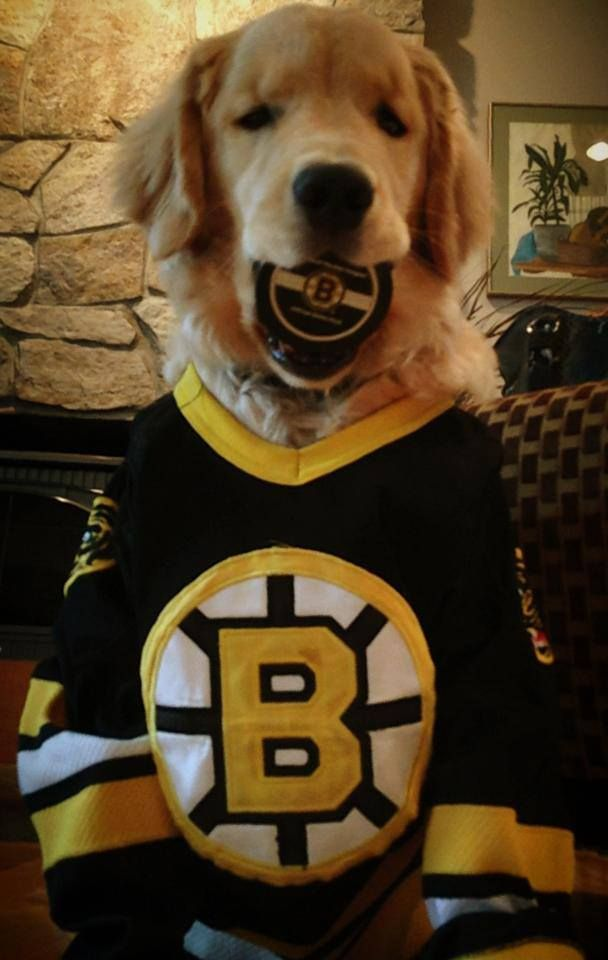 Ray Charles The Golden Retriever Says Lets Go Bruins He Is My