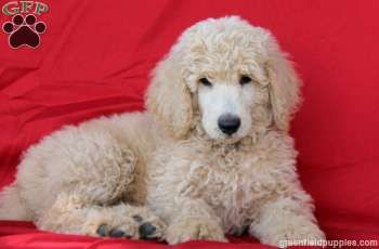 Standard Poodles For Sale Nc Scout Standard Poodle Puppy For