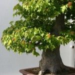 potted-tree