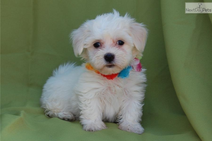 Coton De Tulear Puppy For Sale Near Springfield Missouri 018bbddf 5111 Coton De Tulear Puppy Puppies For Sale Coton De Tulear